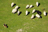 Dog keeps a flock of sheep in the pasture — Stock Photo