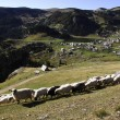 The shepherd leads the sheep to pasture — Stock Photo