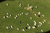 Flock of sheep grazing on the football field — Stock Photo