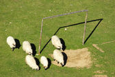 Sheep and soccer goal — Stock Photo