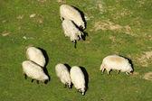 Bianche pecore al pascolo — Foto Stock