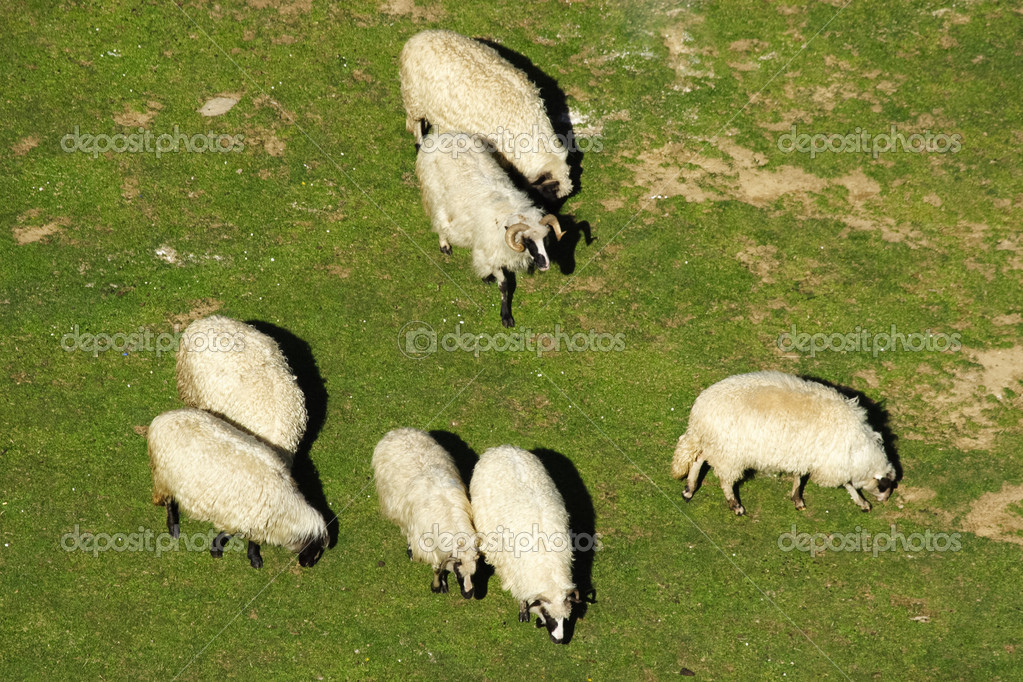 Group of white sheep grazing grass on pasture on a mountain of Vranica that is central Bosnia's highest mountain at 2112 meter. — Stock Photo #10840365