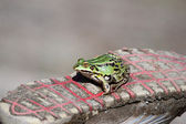 A Green frog on a tennis shoe — Stock Photo