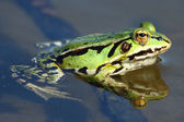 Close up of Green frog — Stock Photo