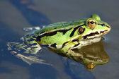 Der grüne frosch nahaufnahme — Stockfoto