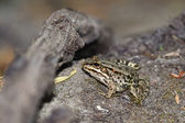 Young green frog — Stock Photo