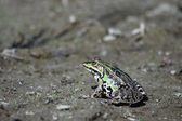 Green frog on the ground — Stockfoto