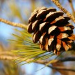 Close Up of Pine Cone on Branch — Stock Photo