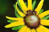 Bee on Black Eyed Susan — Stock Photo