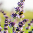Stock Photo: Bumble bee on purple flower