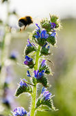 Bumble bee on a blue flower — Stock Photo