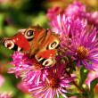 Beautiful little butterfly on a purple flower — Foto de Stock