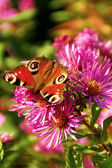 Beautiful little butterfly on a purple flower — Stock Photo