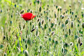 Red poppy on wild field — Stock Photo