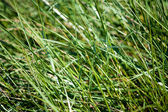 Close-up of green grass on the beach dune — Stock Photo