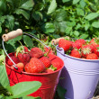 Fresh strawberries from the field — Stock Photo