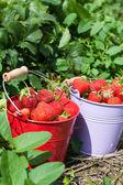 Fresas frescas del campo — Foto de Stock