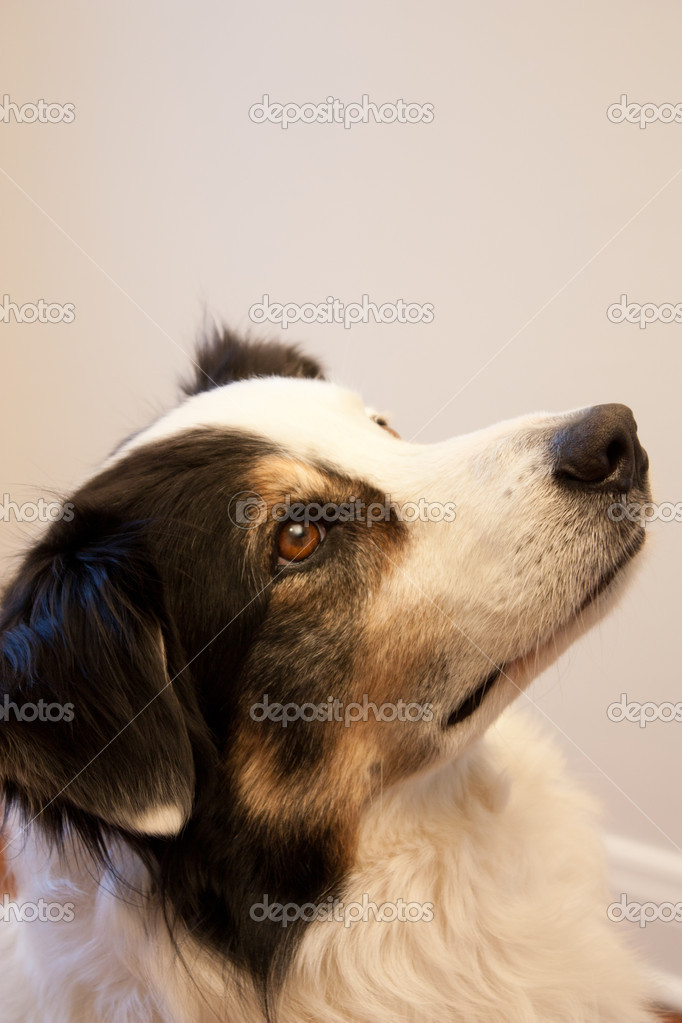 Head shot of a tri coloured Australian Shepherd as he looks up and off to the side with am expession of serious concentration. — Stock Photo #10951706