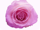 Deep violet rose heart closeup — Stock Photo
