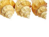 Yellow seashells — Stock Photo