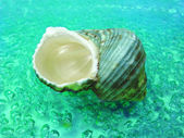 Green sea shell in water — Stock Photo