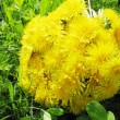 Bouquet of field flowers dandelion — Stock Photo