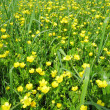Field of buttercups flowers — Stock Photo