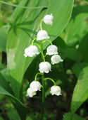 Lily of the vally in the forest — Stock Photo