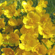 Stock Photo: Bouquet of field buttercups flowers