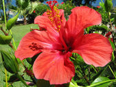 Red hibiskus flower — Stock Photo