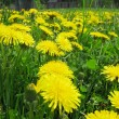 Bouquet of field dandelion flowers — Stock Photo