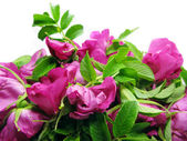 Wild rose flowers floral background — Stock Photo