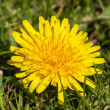 Dandelion and grass — Stock Photo