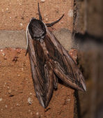 Privet Hawk Moth — Stock Photo