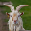 Stock Photo: Goat head on