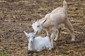 Two Goats — Stock Photo