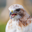 Red tailed hawk with beak open — Stock Photo