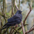 Rook on tree — Stock Photo #11939608