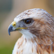 Close up red tailed hawk — Stock Photo
