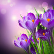 Stock Photo: Crocus Spring Flowers