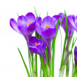 Crocus Spring Flowers isolated on white — Stock Photo