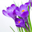 Crocus Spring Flower - Stock Photo