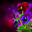 Spring Flowers Pansy over Black — Stock Photo