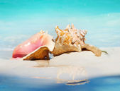 Queen Conch Shells on The Beach Sand. Caribbean — Stock Photo
