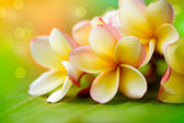 Flor de frangipani tropical spa. plumeria. dof superficial — Foto de Stock