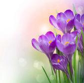 Crocus lentebloemen — Stockfoto