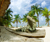 Iguana on The Caribbean Beach. Mexico — Stock Photo