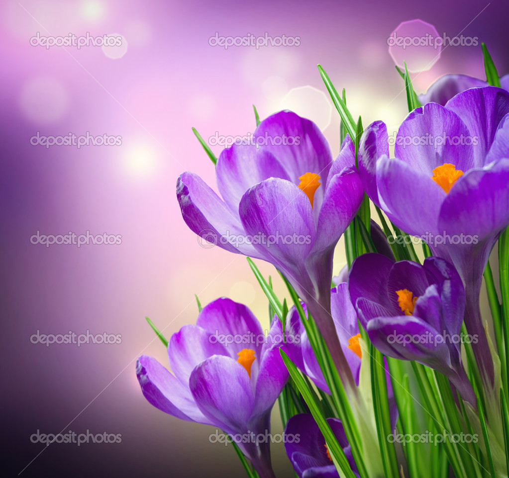 Crocus Spring Flowers — Stock Photo #11103981