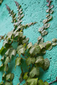 Ivy branches on wall — Stock Photo