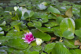 Blooming water lily and leaves — Stock Photo